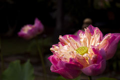 Flor de loto oscura Imagen de archivo