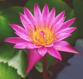 Flor de loto púrpura imagen de archivo