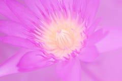 Flor de loto púrpura con el foco suave del polen grande Fotografía de archivo