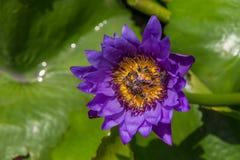 Flor de loto púrpura con la abeja Fotografía de archivo libre de regalías