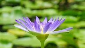 flor de loto púrpura con la pequeña abeja Fotos de archivo libres de regalías
