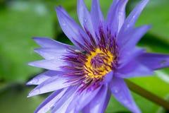 Flor de loto púrpura con polen del amarillo de la mosca de abeja Fotografía de archivo