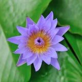 Flor de loto púrpura en el río Imágenes de archivo libres de regalías
