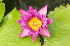 Flor de loto púrpura en el río Fotografía de archivo
