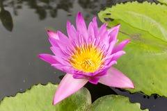 Flor de loto púrpura en el río Fotografía de archivo libre de regalías