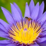 Flor de loto púrpura en el río, Tailandia Fotos de archivo