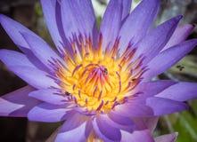 Flor de loto púrpura en luz de la mañana Imagen de archivo libre de regalías