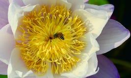 Flor de loto púrpura en piscina Imágenes de archivo libres de regalías