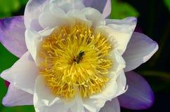 Flor de loto púrpura en piscina Fotografía de archivo libre de regalías