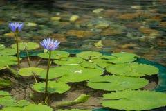 Flor de loto púrpura flotante en la charca con las rocas en la tierra imágenes de archivo libres de regalías