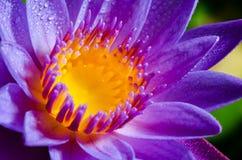 Flor de loto púrpura hermosa Foto de archivo