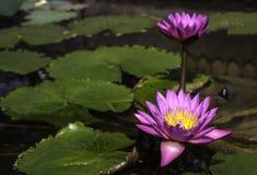 Flor de loto púrpura hermosa Imagen de archivo libre de regalías