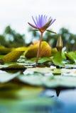 Flor de loto púrpura hermosa Imagen de archivo