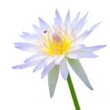 Flor de loto púrpura y blanco Fotos de archivo libres de regalías
