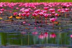 flor de loto roja en el lago Fotos de archivo