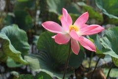 Flor de loto roja de Lotus imagenes de archivo