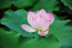 Flor de loto rosada Foto de archivo libre de regalías