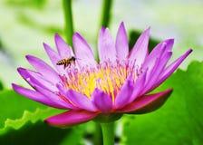 Flor de loto rosada Imagen de archivo