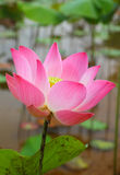 Flor de loto rosada Fotos de archivo