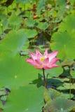 Flor de loto rosada Fotografía de archivo