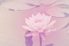 Flor de loto rosada fotografía de archivo libre de regalías