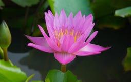 Flor de loto rosada Foto de archivo