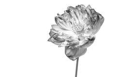 Flor de loto rosada Fotos de archivo libres de regalías