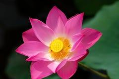 Flor de loto rosada imágenes de archivo libres de regalías