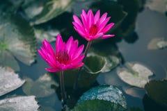 Flor de loto rosada con las hojas verdes Fotografía de archivo