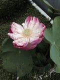 Flor de loto rosada de la floración Imagenes de archivo