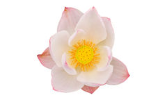 Flor de loto rosada en el fondo blanco Imagenes de archivo
