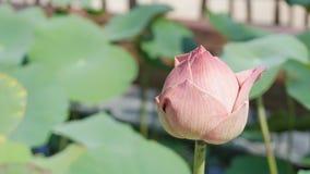 Flor de loto rosada en el lago foto de archivo libre de regalías