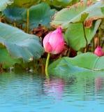 Flor de loto rosada entre follaje verde Foto de archivo