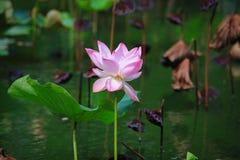 Flor de loto rosada floreciente imagen de archivo libre de regalías
