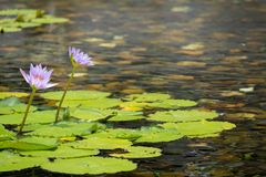 Flor de loto rosada flotante 2 en la charca con las rocas en la tierra foto de archivo libre de regalías