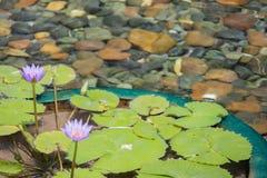 Flor de loto rosada flotante en la charca con las rocas en la tierra imagenes de archivo