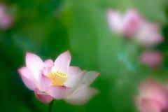 Flor de loto rosada hermosa Fotos de archivo libres de regalías