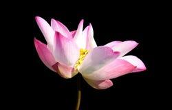 Flor de loto rosada hermosa aislada en negro Ahorrado con clippi Imágenes de archivo libres de regalías