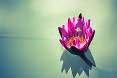 flor de loto rosada hermosa con la abeja que vuela arriba en el azul profundo w Fotografía de archivo