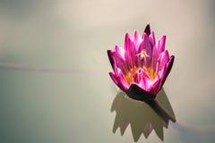 flor de loto rosada hermosa con la abeja que vuela arriba en el azul profundo w Imágenes de archivo libres de regalías