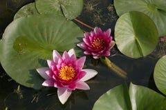 Flor de loto rosada hermosa en el lago Imagen de archivo libre de regalías