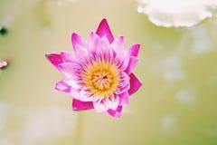 Flor de loto rosada hermosa en la charca Fotografía de archivo libre de regalías