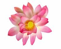 Flor de loto rosada hermosa de la visión superior aislada en el backgroun blanco imagenes de archivo