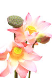 Flor de loto rosada islated Imagen de archivo libre de regalías