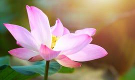 Flor de loto rosada de la floración en la decoración del jardín de la charca de agua (Lotus u Fotografía de archivo