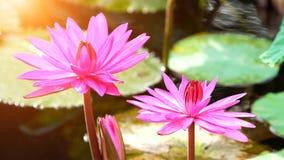 Flor de loto rosada de la floración en la decoración del jardín de la charca de agua (Lotus u Imagen de archivo