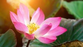 Flor de loto rosada de la floración en la decoración del jardín de la charca de agua (Lotus u Fotos de archivo