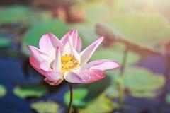Flor de loto rosada de la floración en la decoración del jardín de la charca de agua (Lotus u Foto de archivo libre de regalías