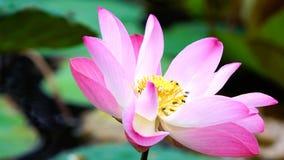 Flor de loto rosada de la floración en la decoración del jardín de la charca de agua (Lotus u Foto de archivo