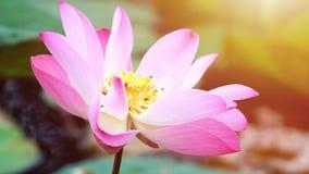 Flor de loto rosada de la floración en la decoración del jardín de la charca de agua (Lotus u Imágenes de archivo libres de regalías